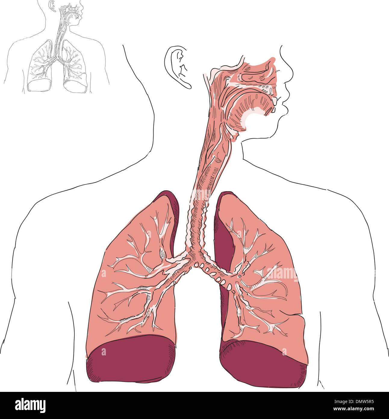 Respiratory system and Actinomycosis - Stock Image