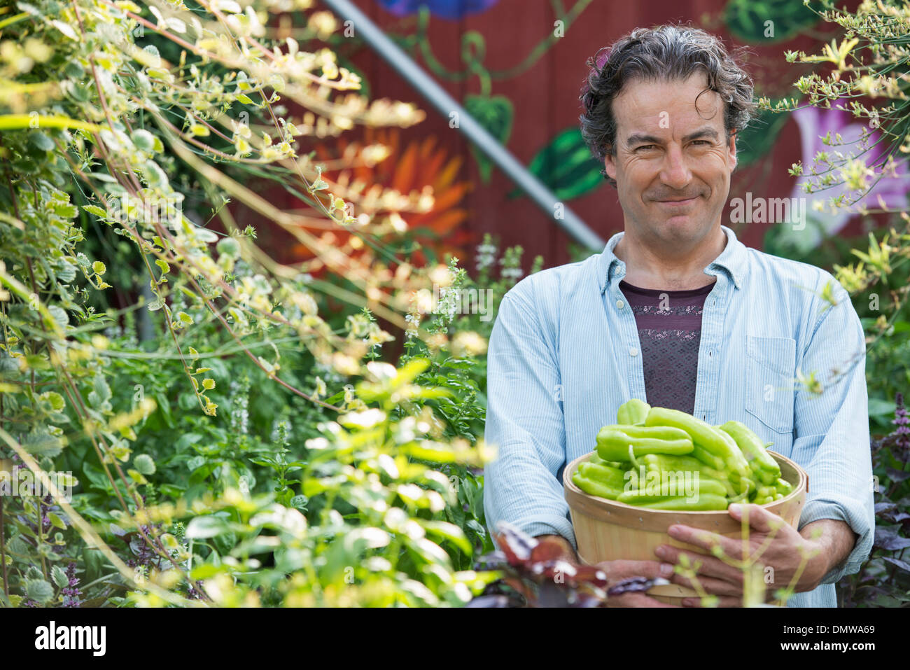 Summer on an organic farm. A  man holding a basket of fresh picked vegetables. - Stock Image