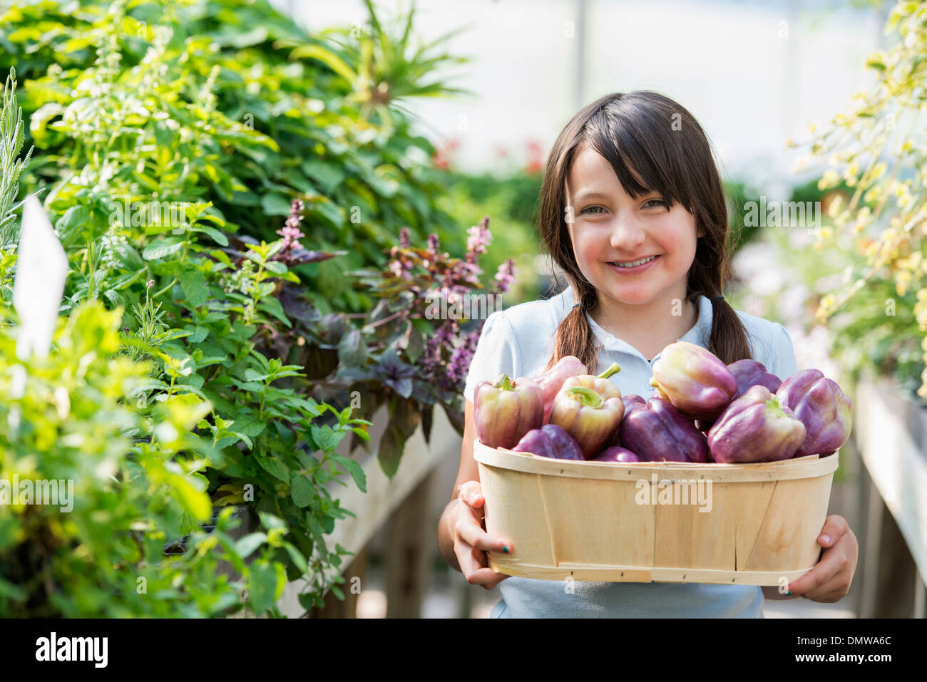 Summer on an organic farm. A girl holding a basket of fresh bell peppers. - Stock Image