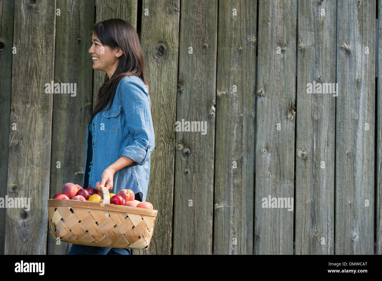 A woman carrying a basket of freshly picked fruit. Plums and peaches. - Stock Image