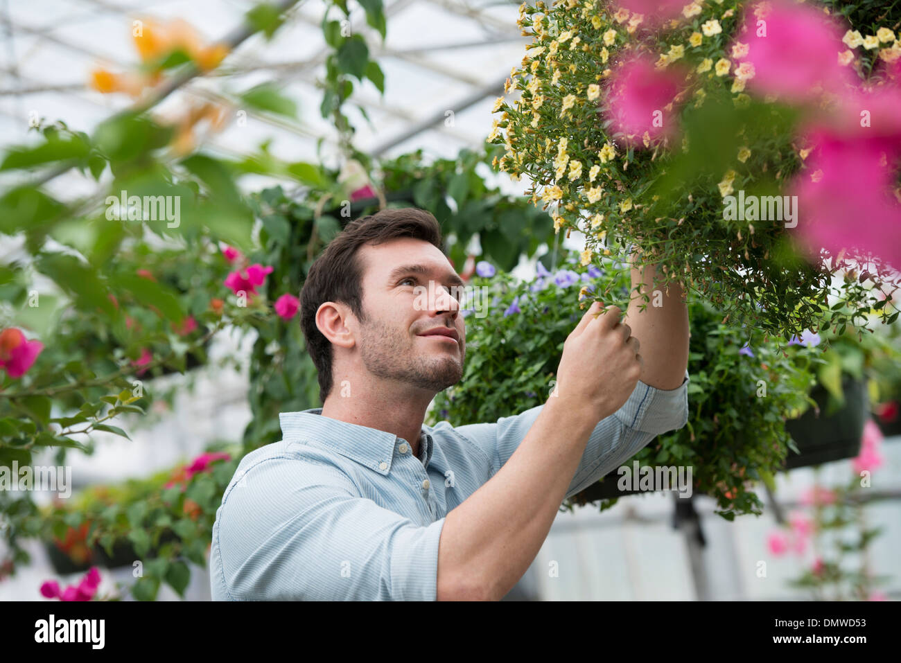 An organic flower plant nursery. A man working tending  plants. - Stock Image