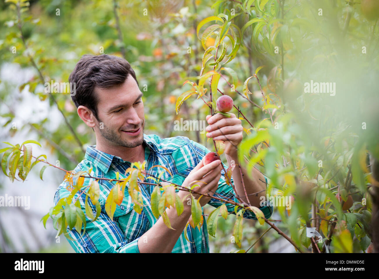 An organic flower plant nursery. A man working tending  plants. - Stock Image