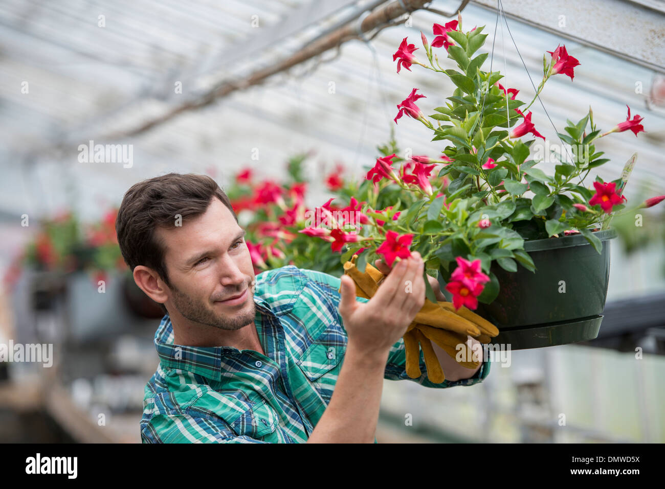An organic flower plant nursery. A man checking  hanging baskets. - Stock Image