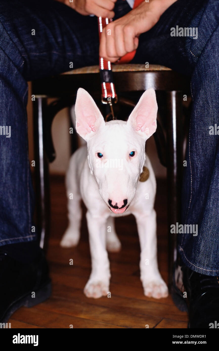 A staffordshire bull terrier dog with a white coat under a table straining against his leash. - Stock Image