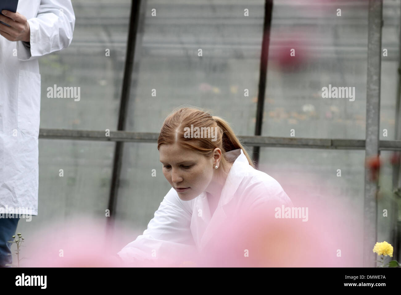 scientist in a greenhouse writing a report and examining - Stock Image