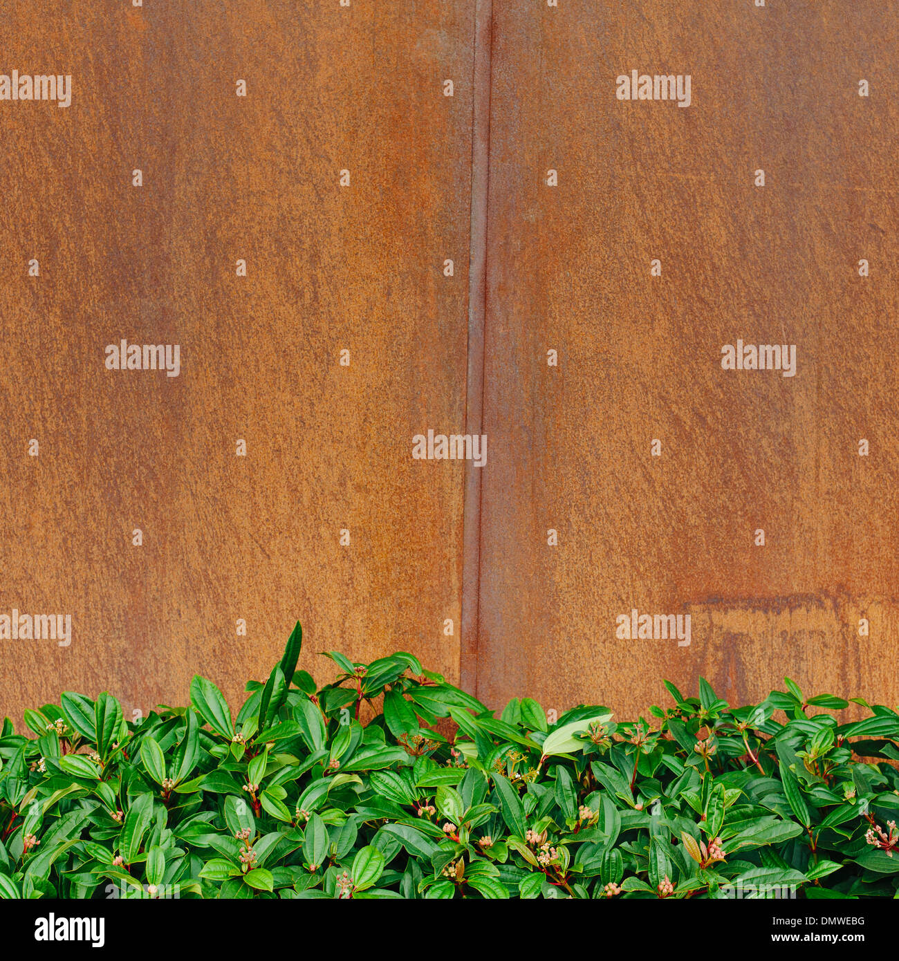 Glossy green leaves of Rhododendrons against a rusty metal wall. - Stock Image
