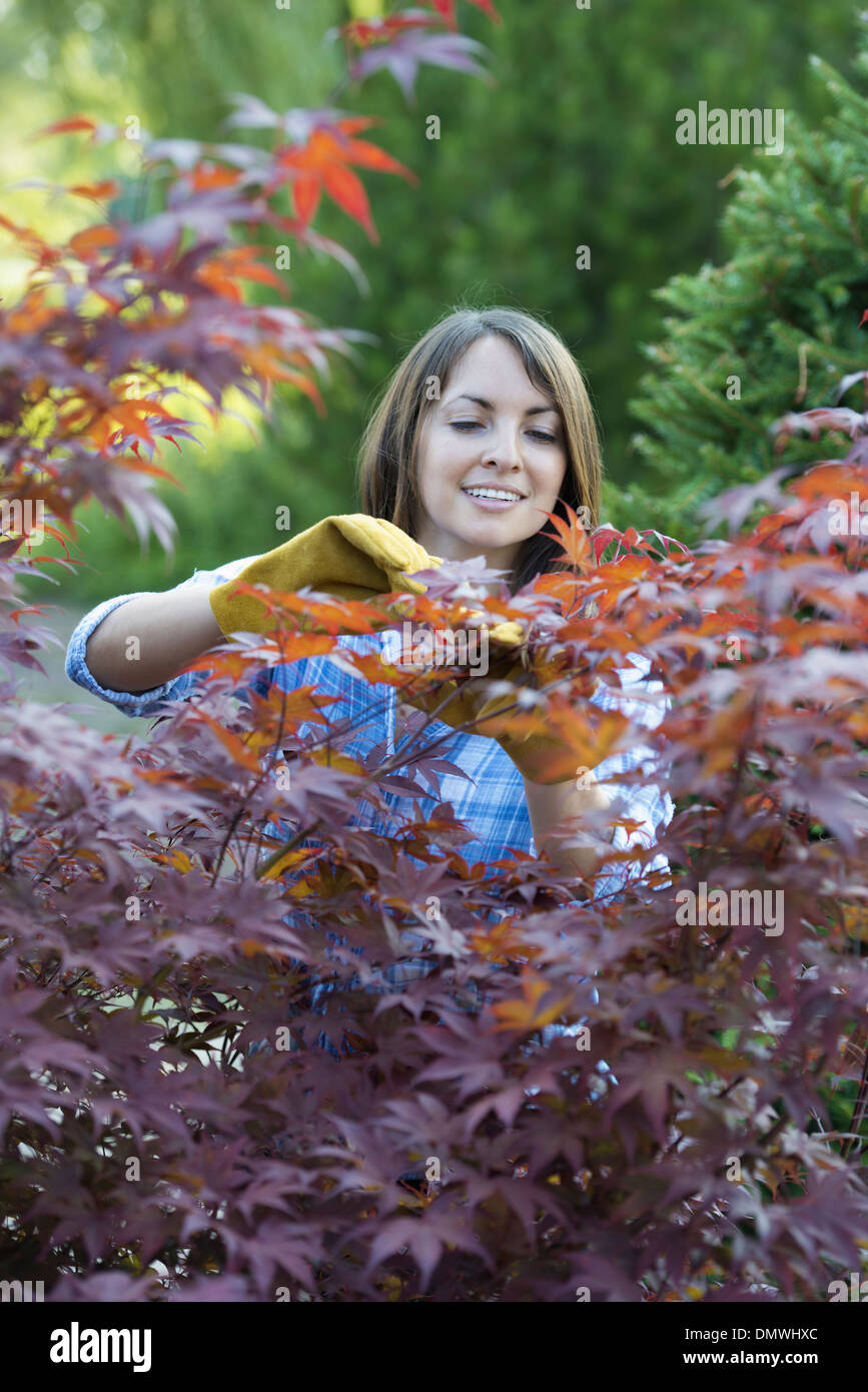 A woman in a tree nursery pruing  leaves of an acer tree. Stock Photo
