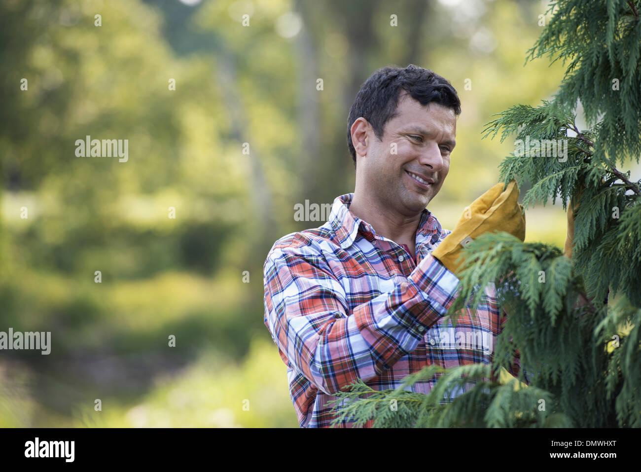 A man pruning an organically grown christmas tree. - Stock Image
