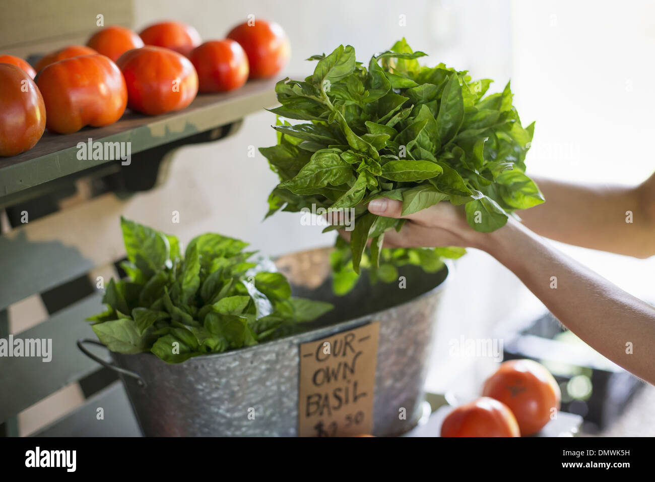 An organic fruit and vegetable farm. A person holding fresh greens salad leaves. - Stock Image