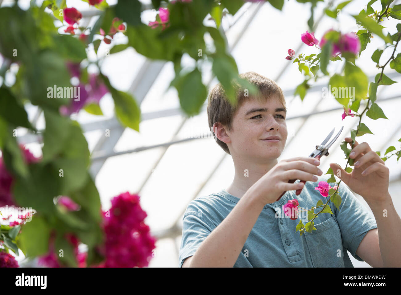 A young boy working in an organic nursery greenhouse. - Stock Image