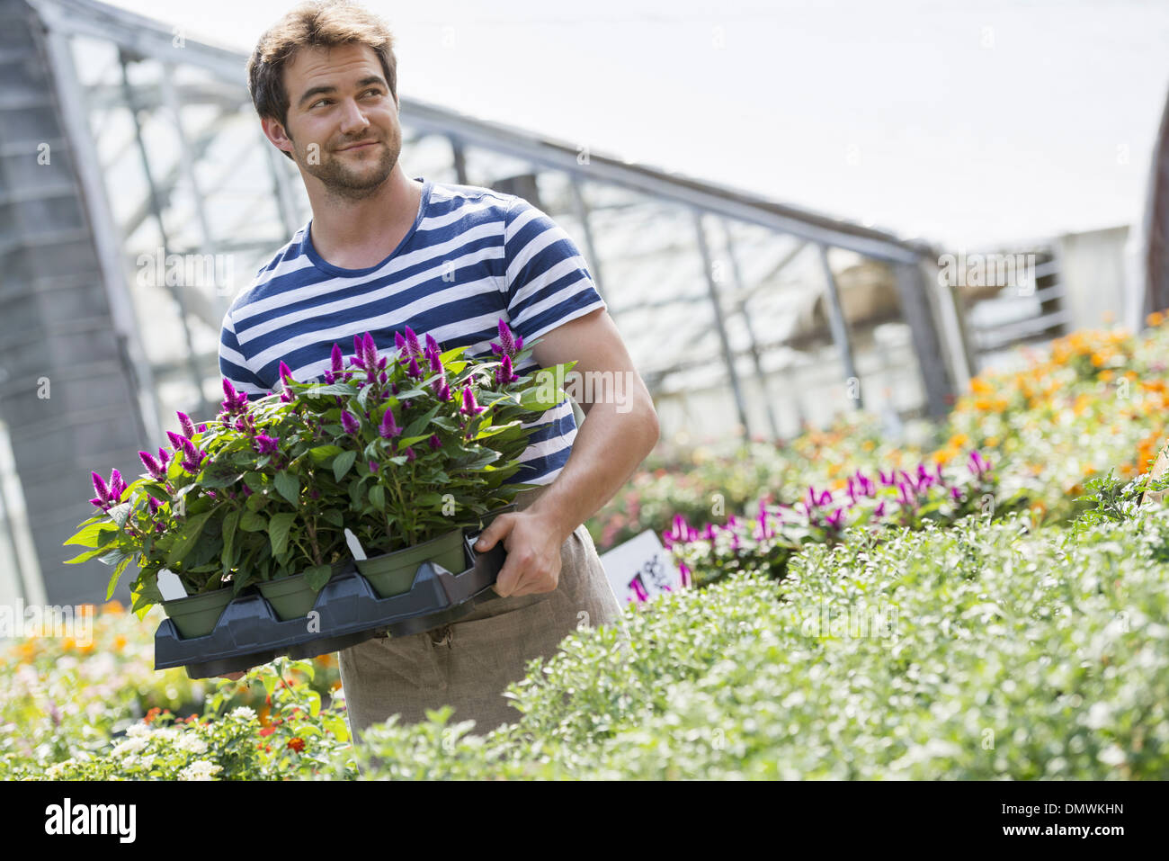 A man working in an organic nursery greenhouse. - Stock Image