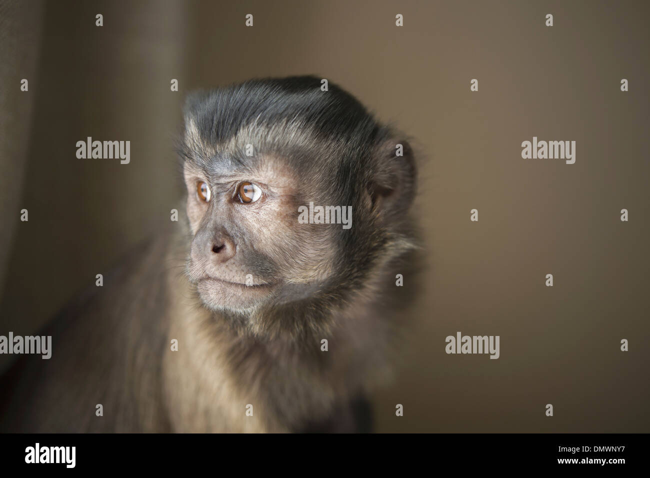 A capuchin monkey seated head and shoulders. - Stock Image