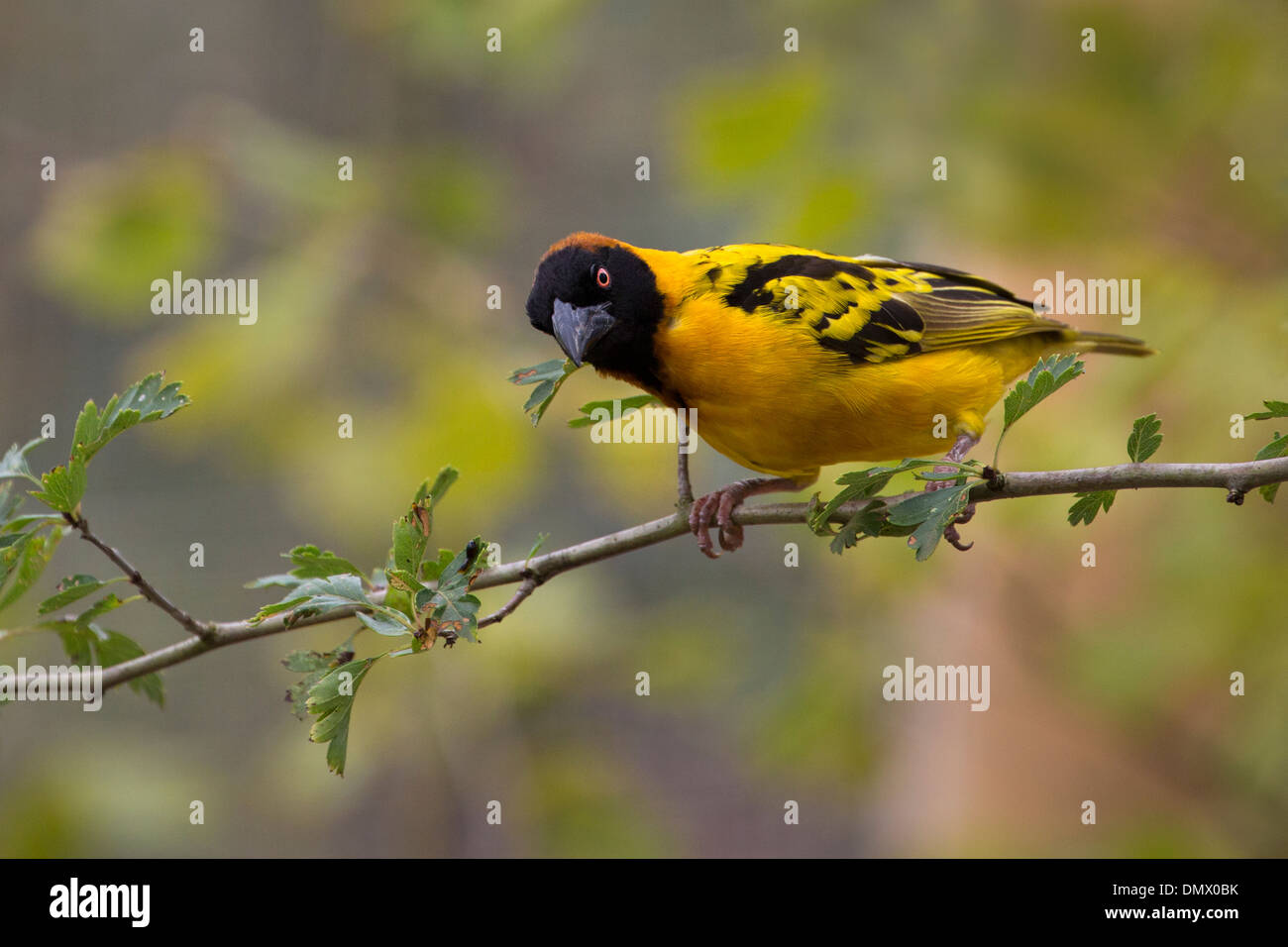 Black-headed Weaver - Stock Image