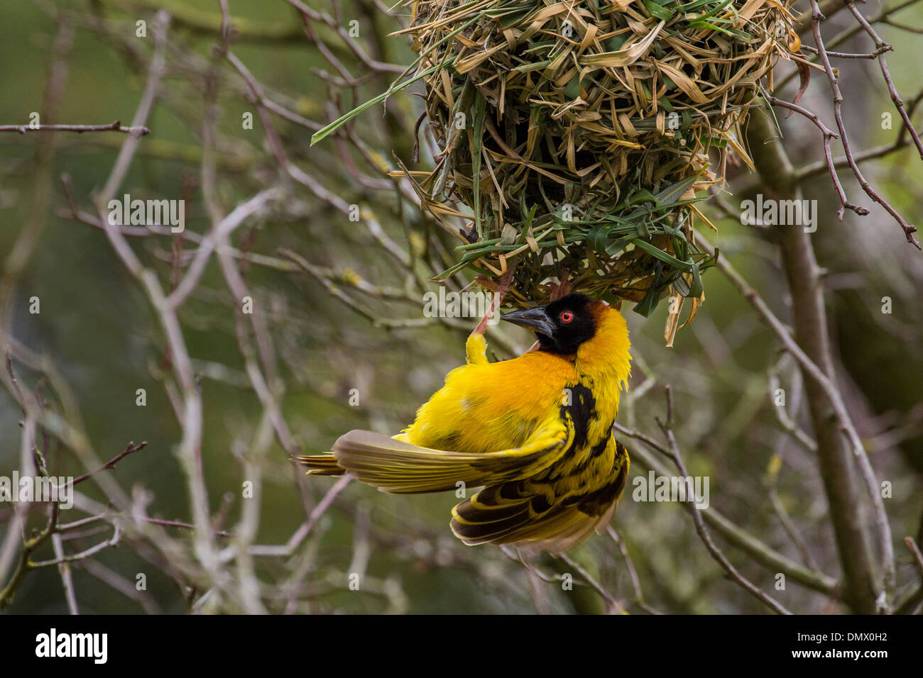 Black-headed Weaver and nest - Stock Image