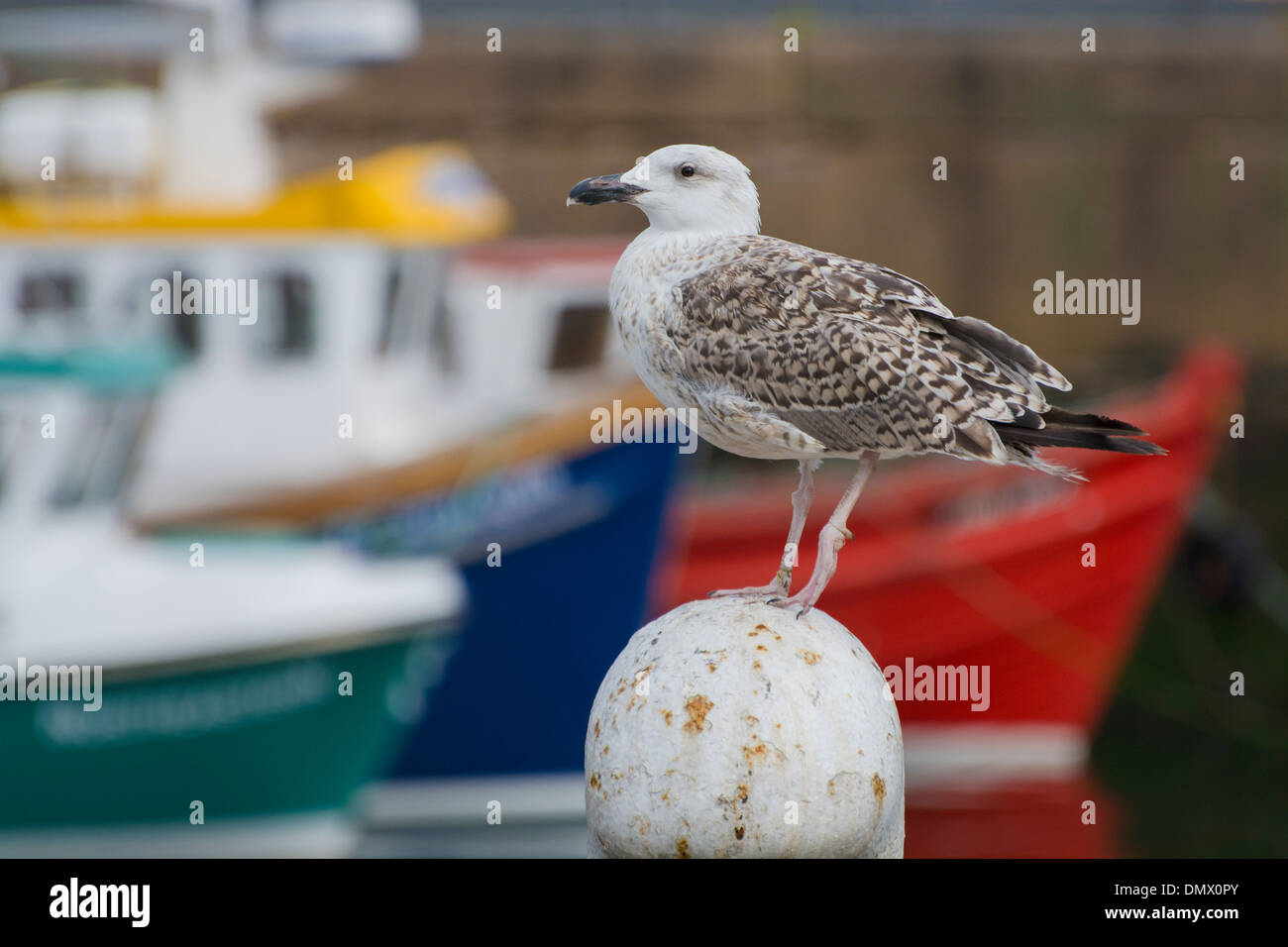 seagull colourful boat hulls fraserburgh harbour - Stock Image