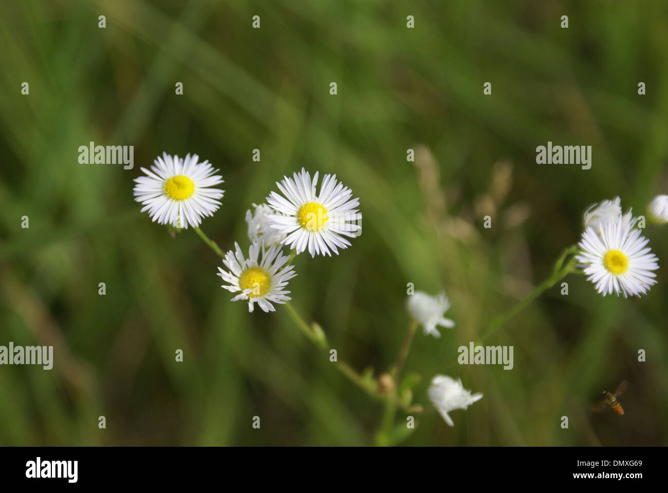 Mini Daisies with a small sweat bee - Stock Image