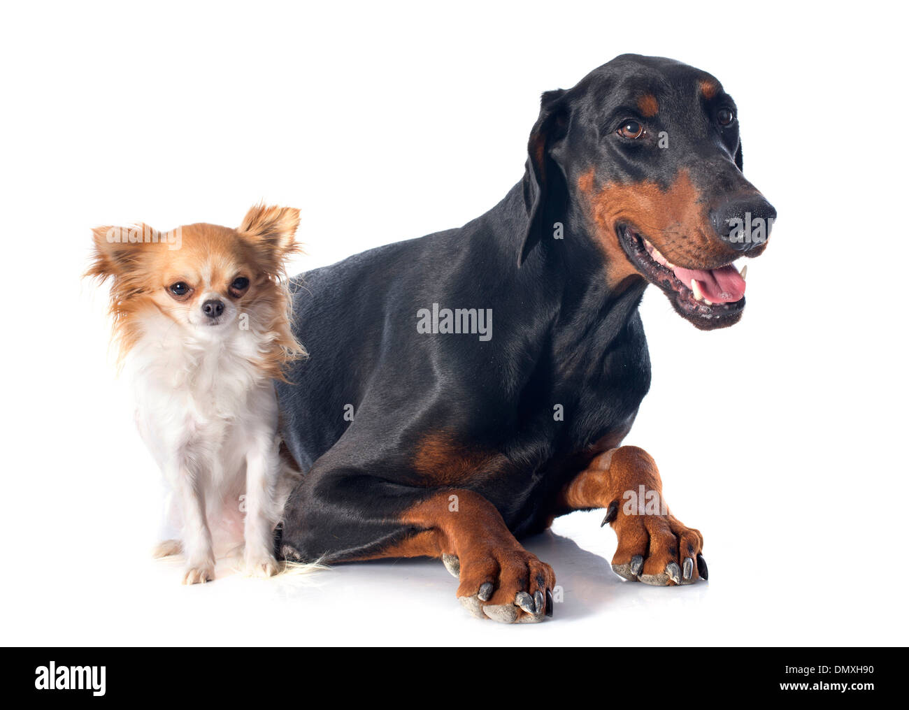 doberman pinscher and chihuahua in front of white background - Stock Image