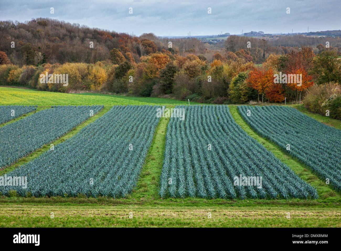 Rural landscape showing field with leek beds (Allium ampeloprasum) - Stock Image