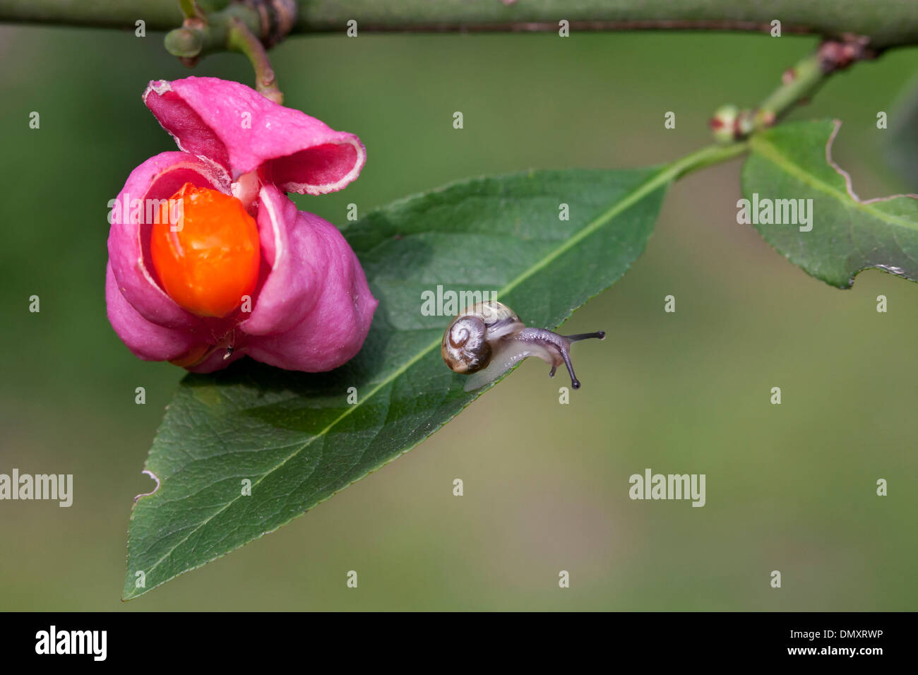 Little snail and European spindle / common spindle (Euonymus europaeus) close-up of ripe fruit showing bright orange seeds - Stock Image