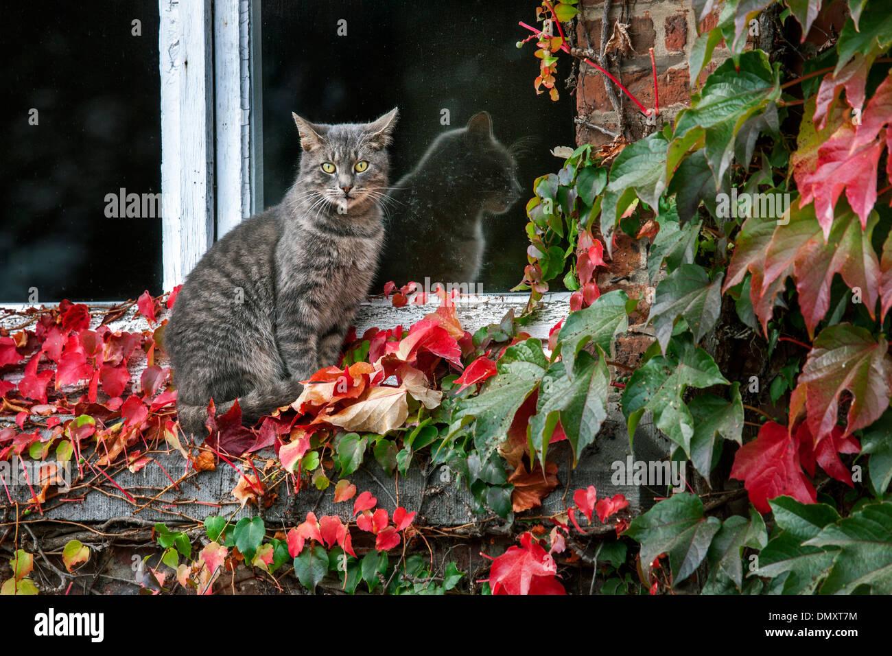 House cat sitting on windowsill among red leaves of Virginia creeper (Parthenocissus quinquefolia) - Stock Image