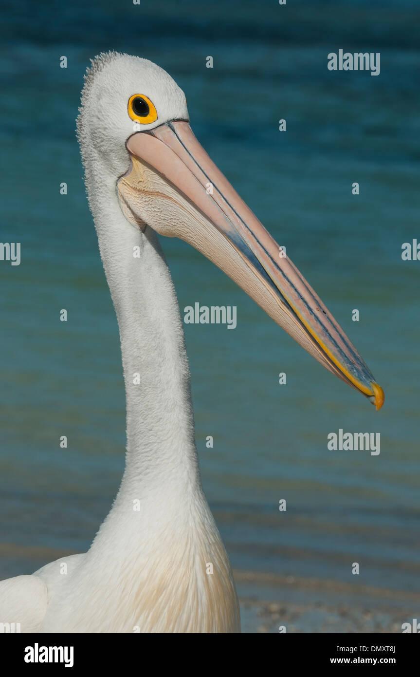 Australian Pelican (Pelecanus conspicillatus) Wild, Rottnest Island, Western Australia - Stock Image