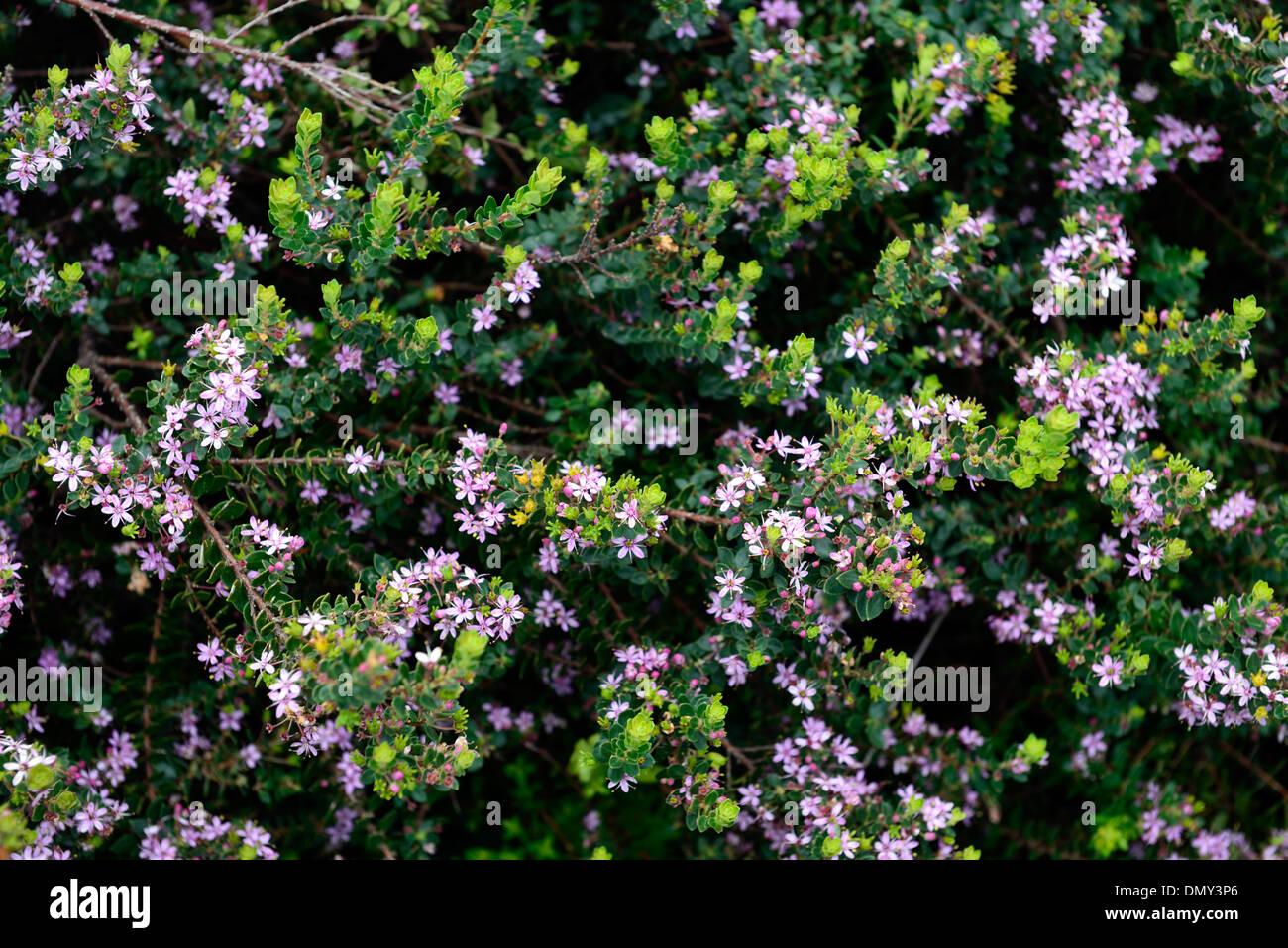 Agathosma ovata kluitjieskraal false buchu pink flowers compact agathosma ovata kluitjieskraal false buchu pink flowers compact evergreen shrub mightylinksfo