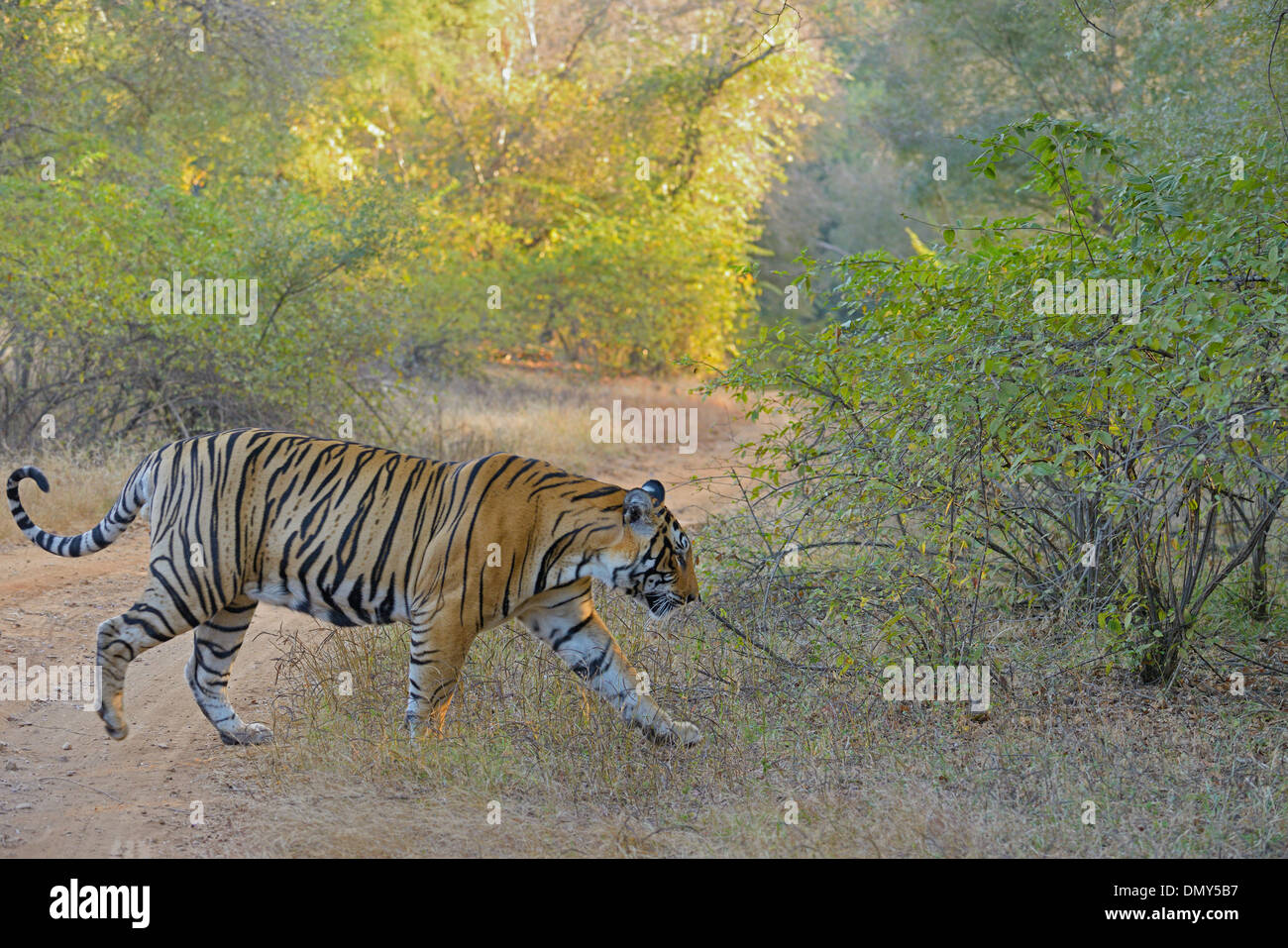 Tiger walking through a dry deciduous forest in Ranthambhore - Stock Image