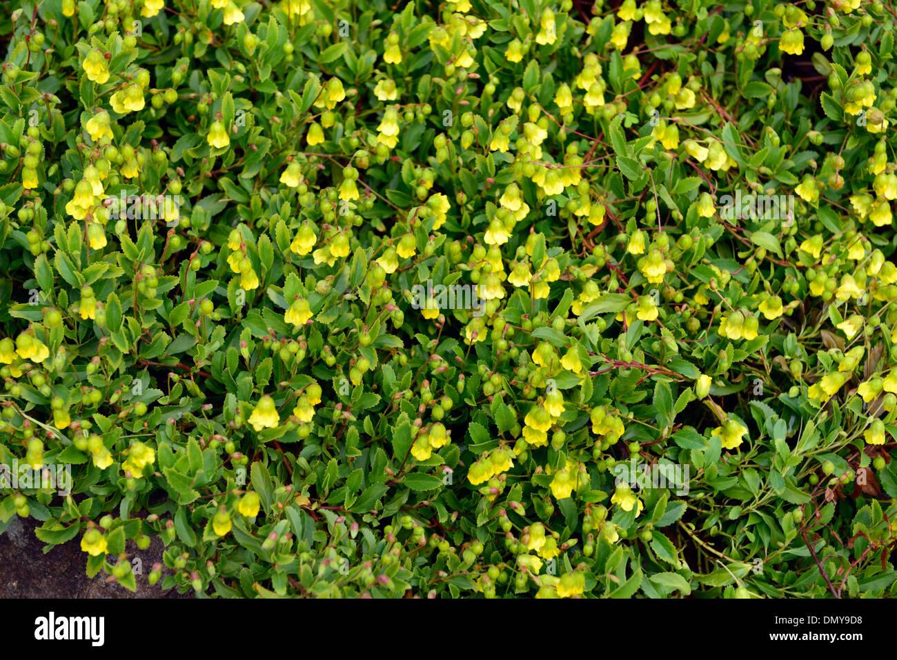 Yellow Flowering Shrub Stock Photos Yellow Flowering Shrub Stock