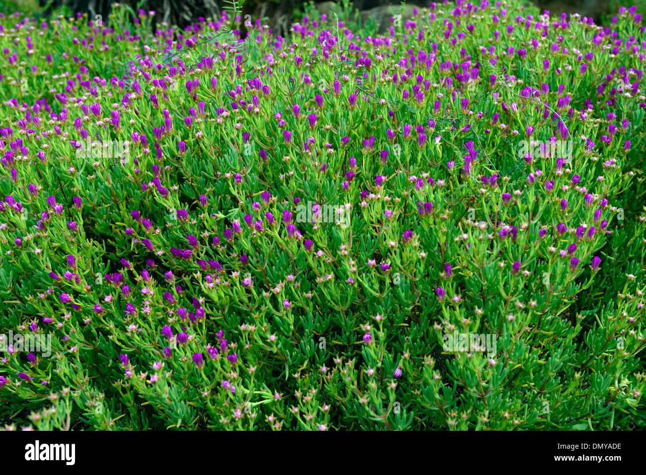 lampranthus amoenus Showy Vygie Flowers pink purple bloom blooming - Stock Image