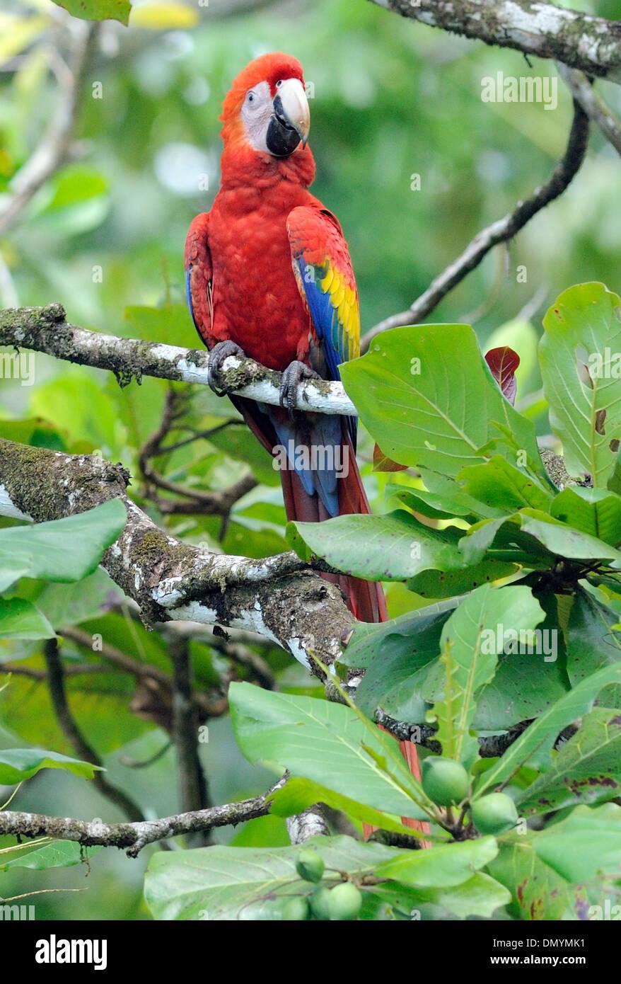 A Scarlet Macaw (Ara macao) feeding on the fruit, almendra, of an almond tree (Terminalia catappa), almendro. .Costa - Stock Image