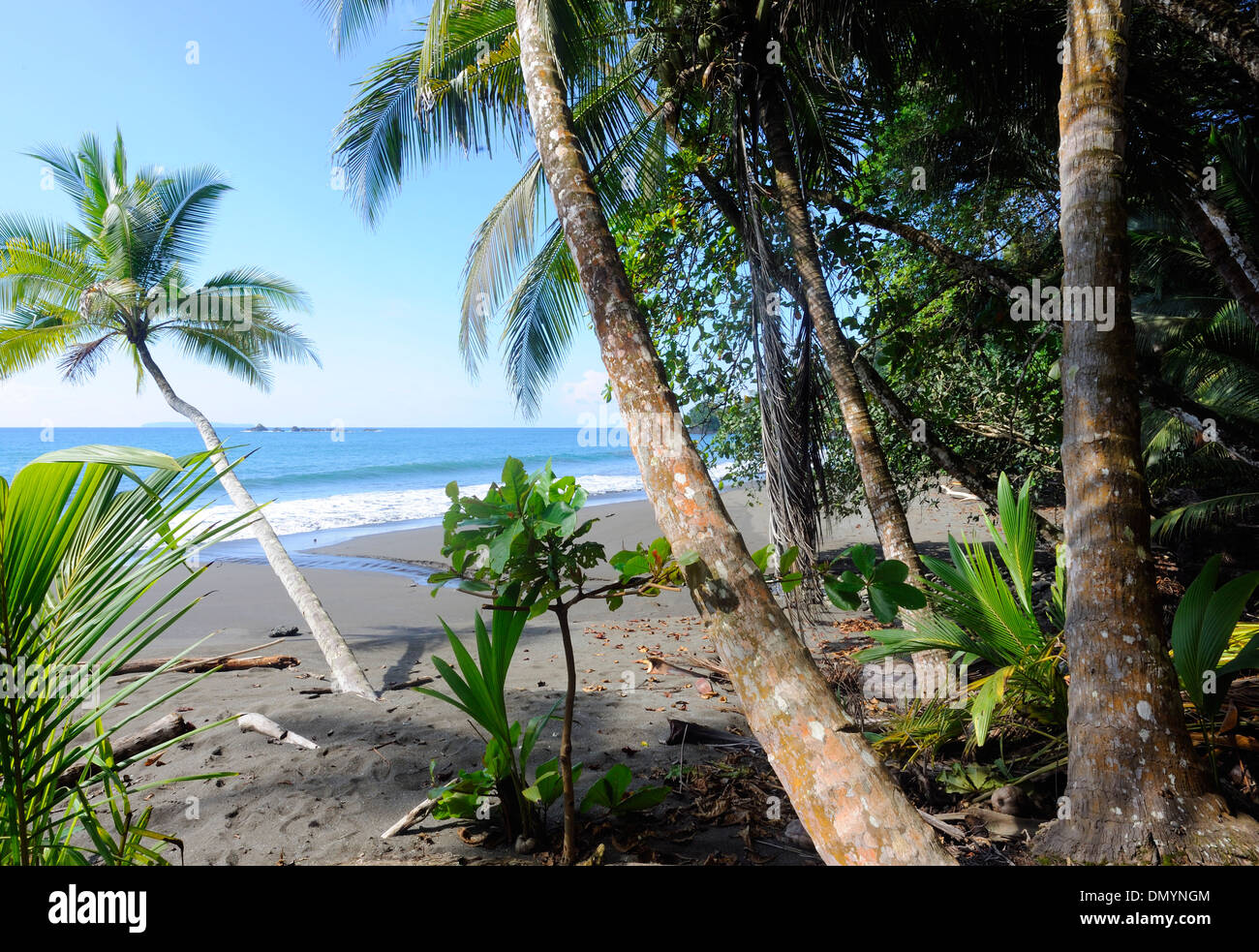 A coconut palms (Cocos nucifera) grow on an idylic sandy beach. Drake Bay, Corcovado National Park, Golfito, Costa Rica. - Stock Image