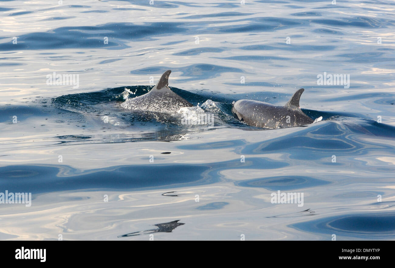 Pantropical spotted dolphins (Stenella attenuata) off the coast of the Oro Peninsula. Drake Bay, Corcovado National Park, - Stock Image
