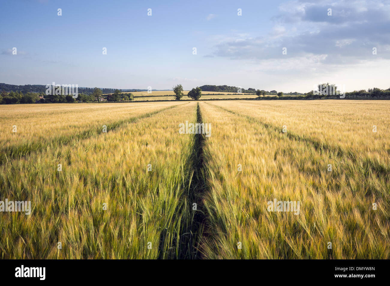 Wheat field in Meon Valley with Old Winchester Hill in the distance in Hampshire, England, UK - Stock Image