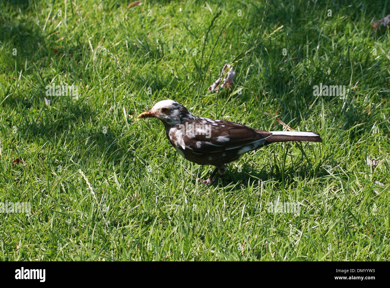 Male Blackbird Displaying Leucism and Browning, Turdus merula merula, Turdidae. - Stock Image