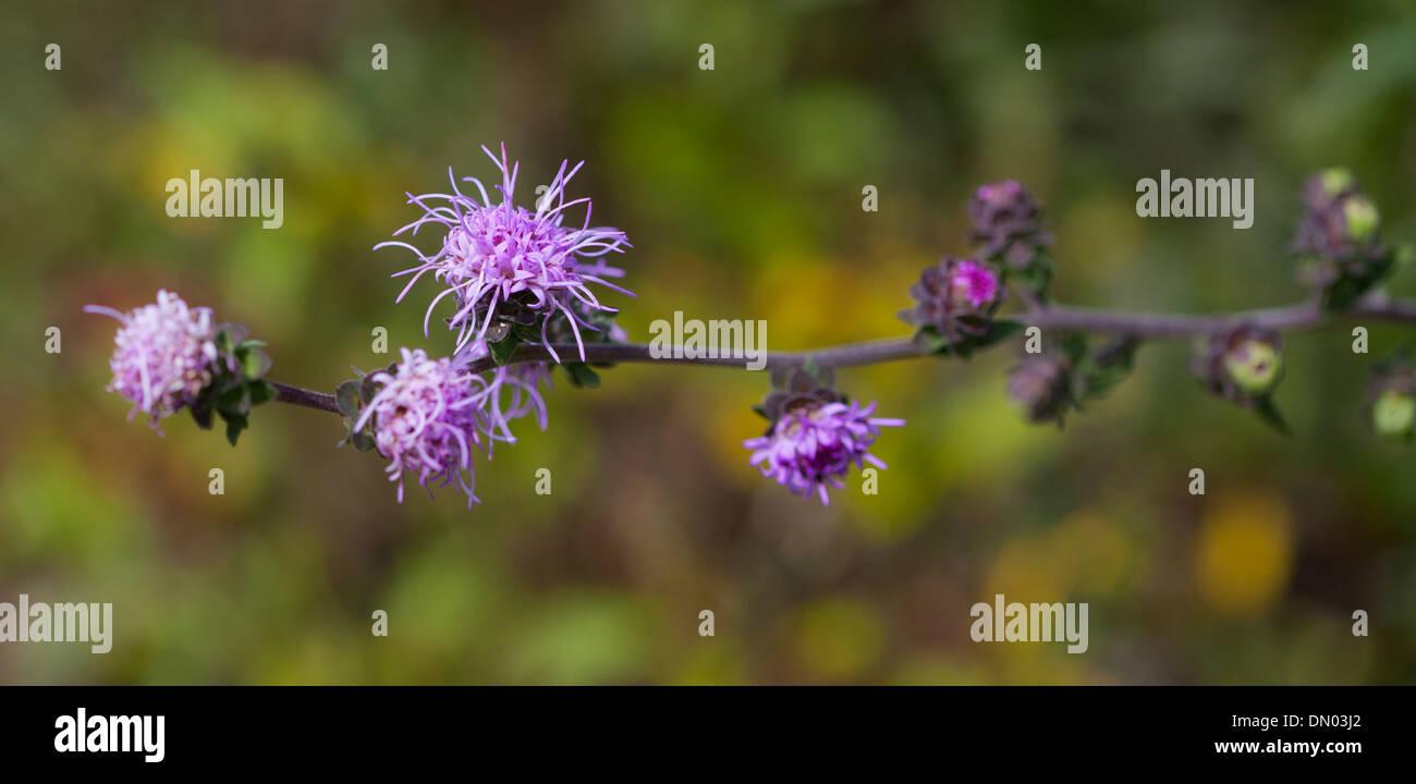 Tall Blazing Star (Liatris aspera) - Stock Image