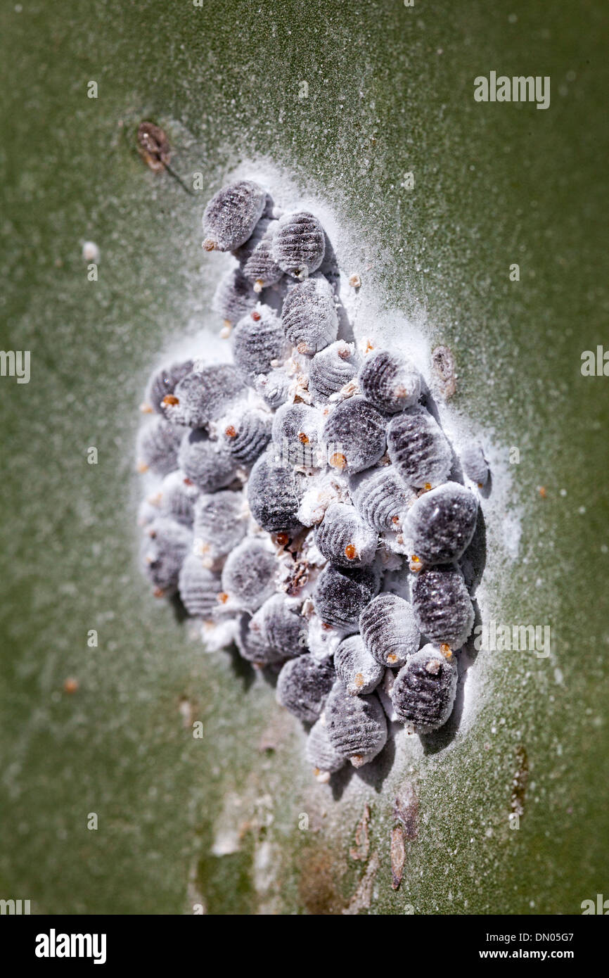 Cochineal beetle, a scale insect on Opuntia prickly pear cactus, farmed on Lanzarote, Canary Islands, Spain - Stock Image