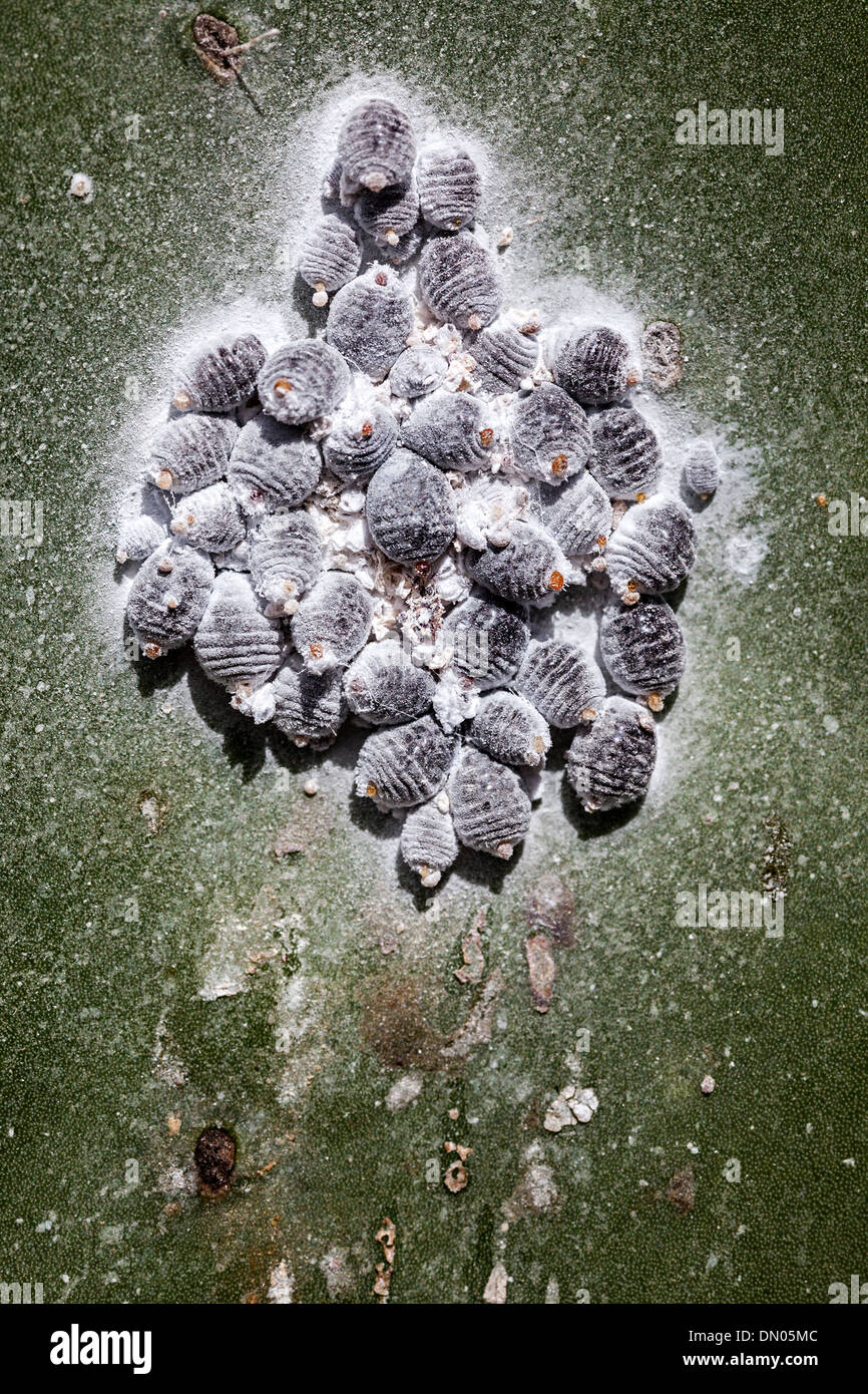 Cochineal beetle, a scale insect on Opuntia prickly pear cactus, farmed on Lanzarote, Canary Islands, Spain. Cochineal is used to produce dye - Stock Image