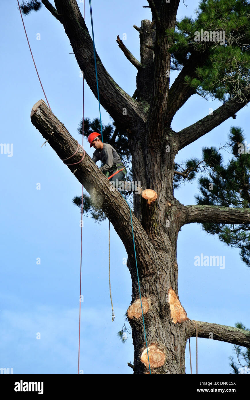 tree trimmer cuts giant oak tree in Mill Valley California - Stock Image