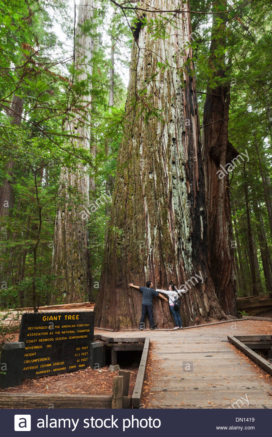 Tree Huggers at Giant Tree in Rockefeller Forest, Humboldt Redwoods State Park, California - Stock Image
