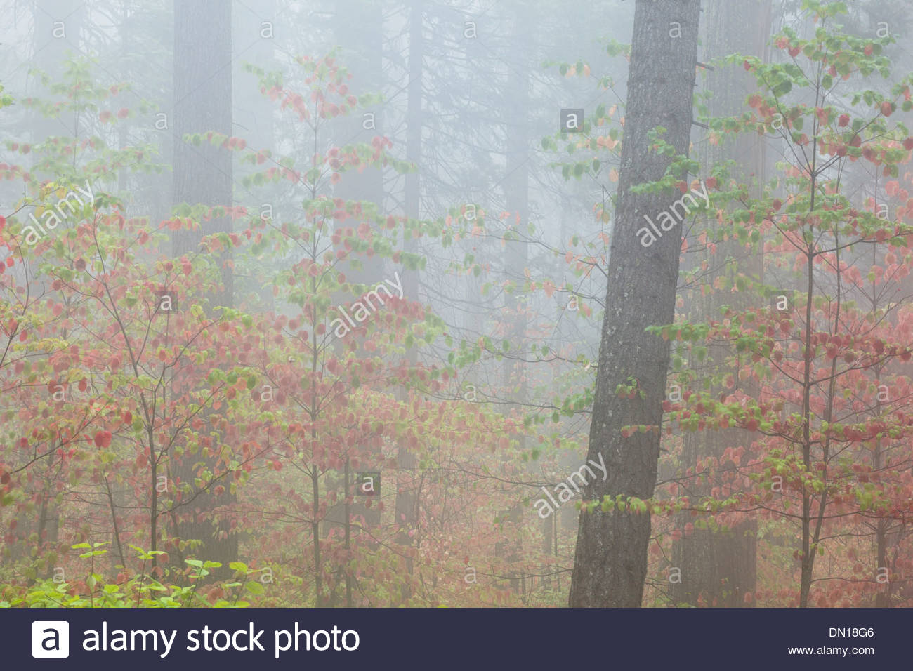 Dogwood Fall Foliage in Fog, Calaveras Big Trees State Park, California - Stock Image