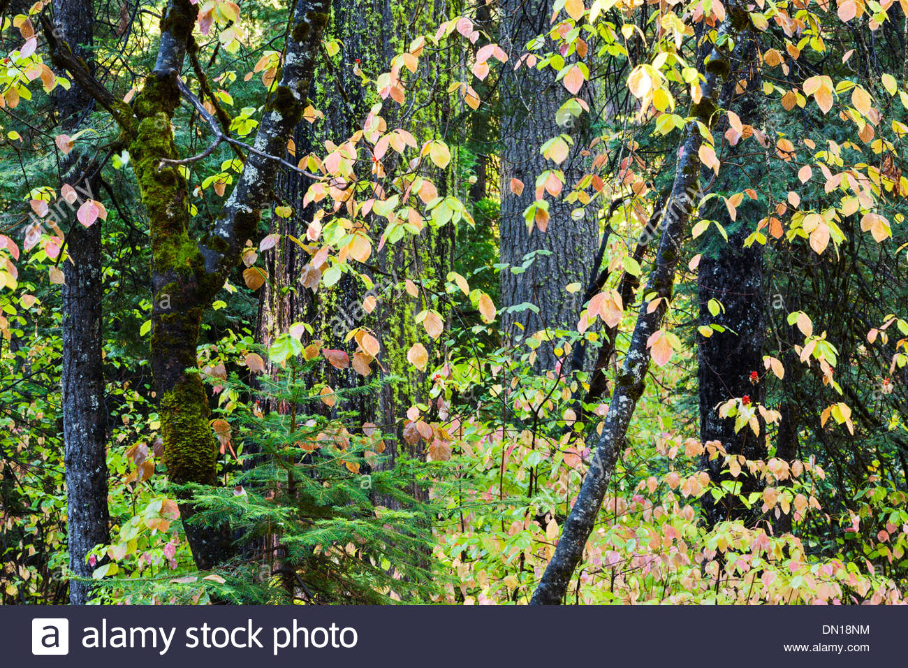 Calaveras Big Trees Stock Photos & Calaveras Big Trees Stock Images ...