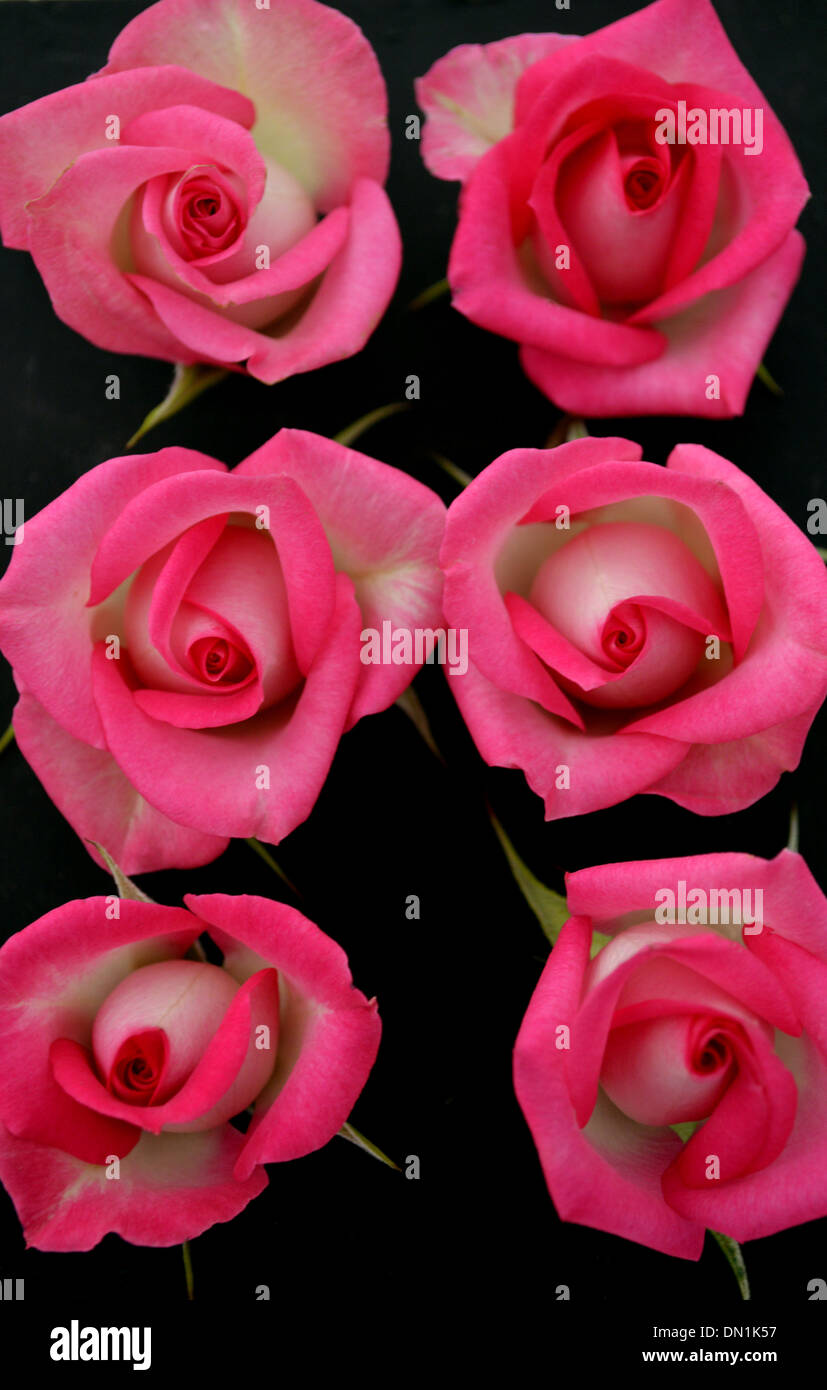 Single Pink Roses Stock Photos Single Pink Roses Stock Images Alamy
