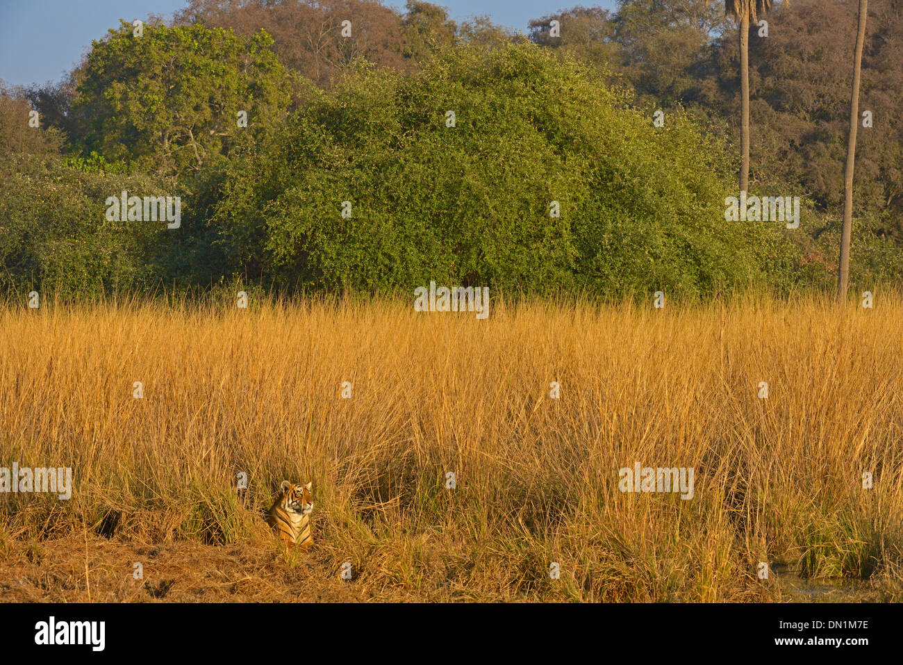 Wild tiger in a forest habitat in Ranthambore national park - Stock Image