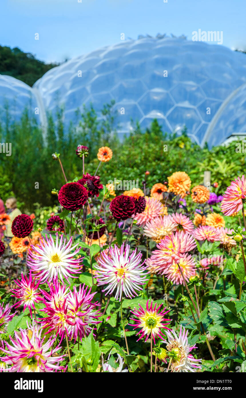 Summer flowers in bloom at the Eden Project in Cornwall, UK - Stock Image