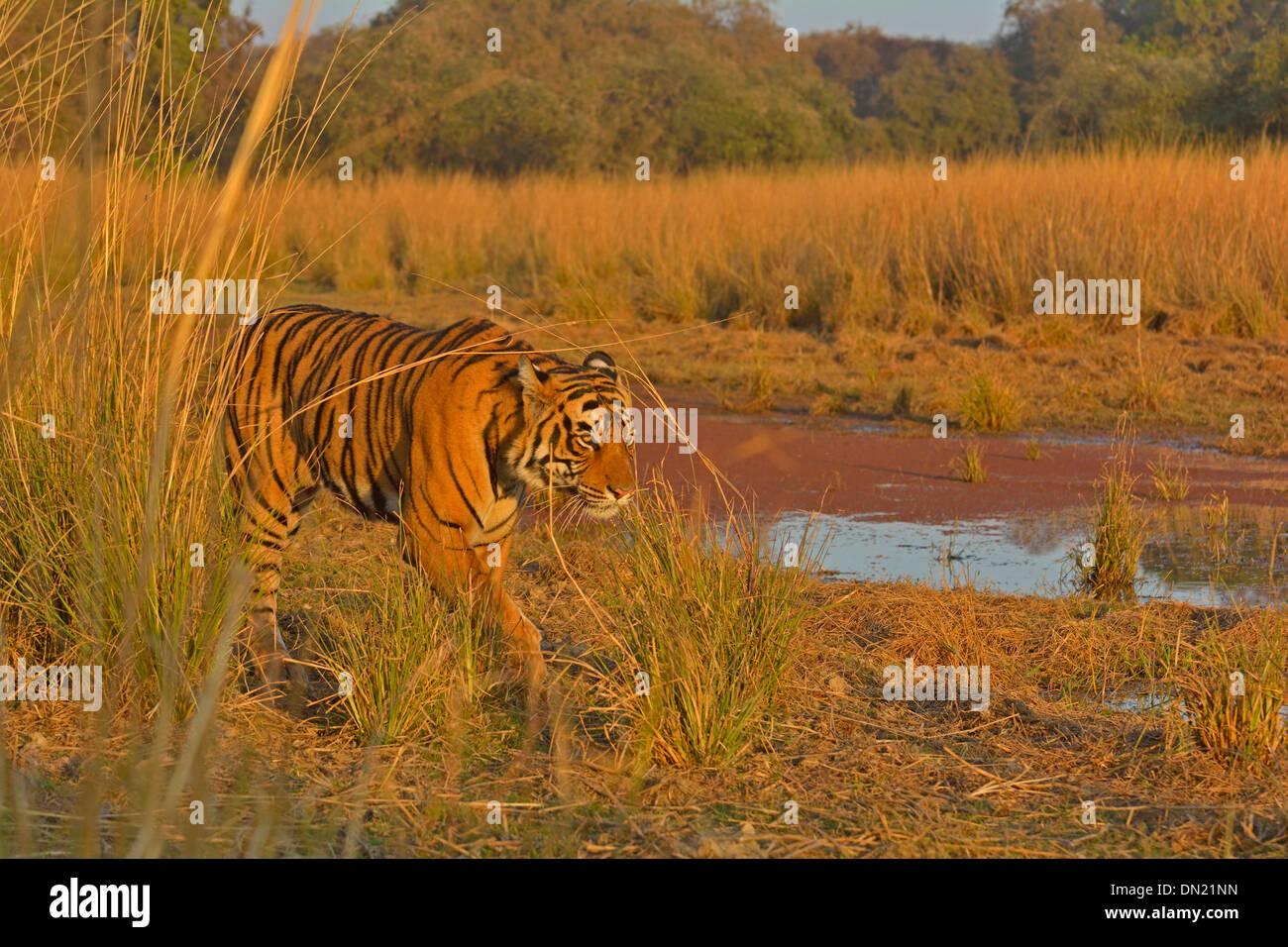 Tiger patrolling his territory in Ranthambhore national park - Stock Image