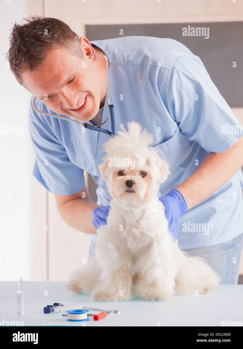 Smiling veterinian making a checkup of a dog maltese. - Stock Image