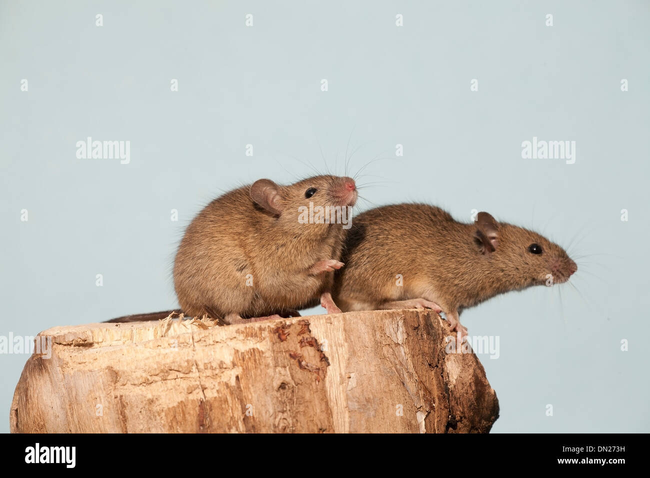 The house mouse (Mus musculus) - Stock Image