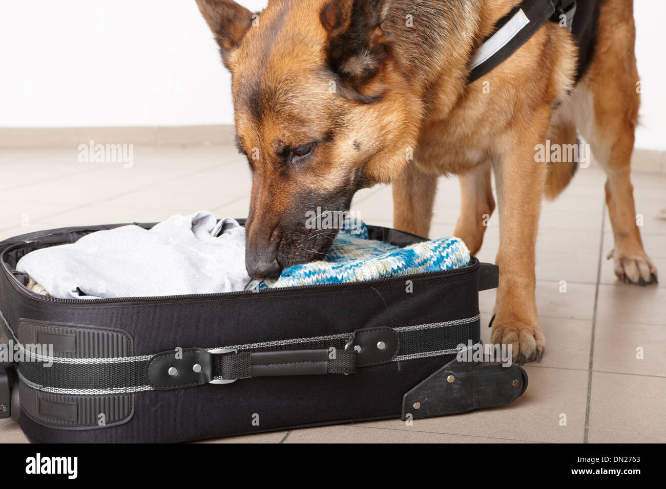 Airport canine. Dog sniffs out drugs or bomb in a luggage. - Stock Image