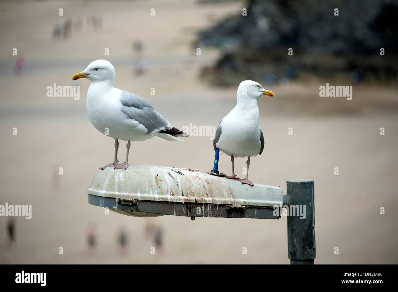 Seagulls on street lamp poo mess dirty soiled - Stock Image