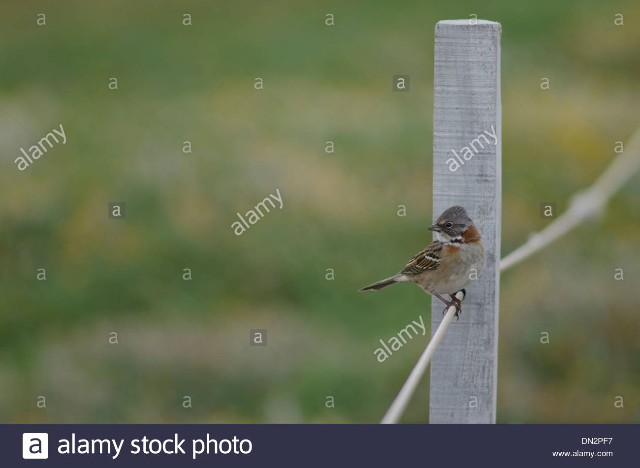 Rufous-collared Sparrow (Zonotrichia capensis) sitting on rope. Stock Photo